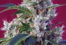 Indigo Berry Kush®