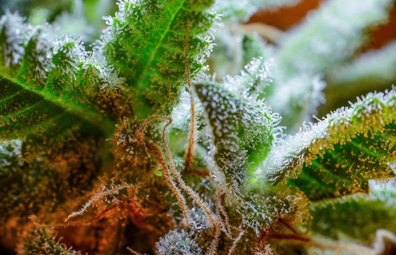 Flavonoid a kannabiszból hasnyálmirigyrák ellen - CK Medijuana