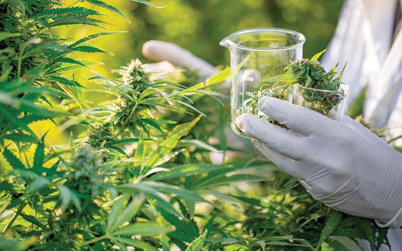 Mi teszi gyógyászativá a kannabiszt? - CK Medijuana