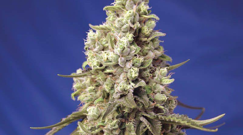 Runtz XL Auto® a Sweet Seeds®-től